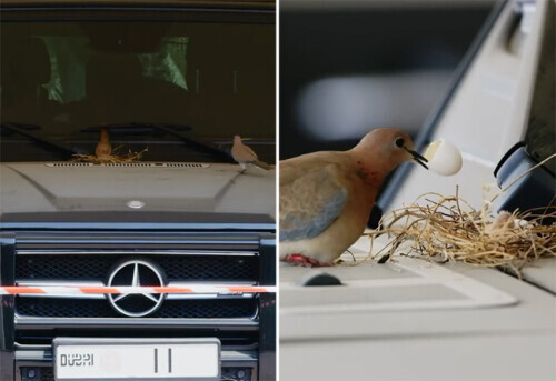 鸟儿在迪拜王子豪车上筑巢孵卵 王子:近期将停用该车