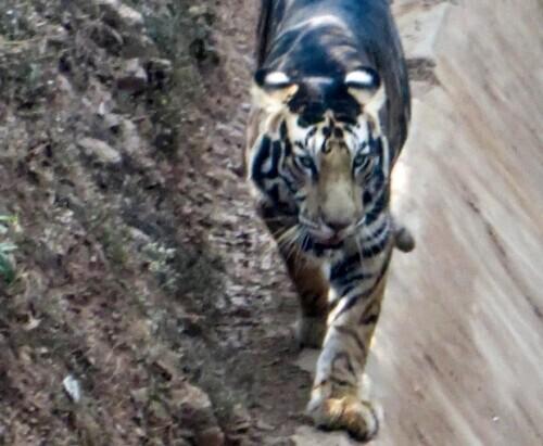摄影师幸运抓拍到罕见黑虎 世界上仅存6只
