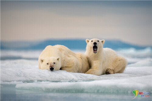 北极熊妈妈和幼崽相互依偎